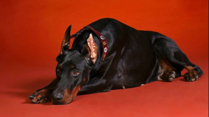 3906024_Doberman (700x392, 299Kb)