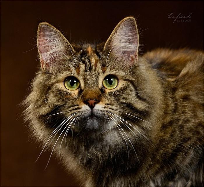 сибирская кошка -2 (700x640, 166Kb)