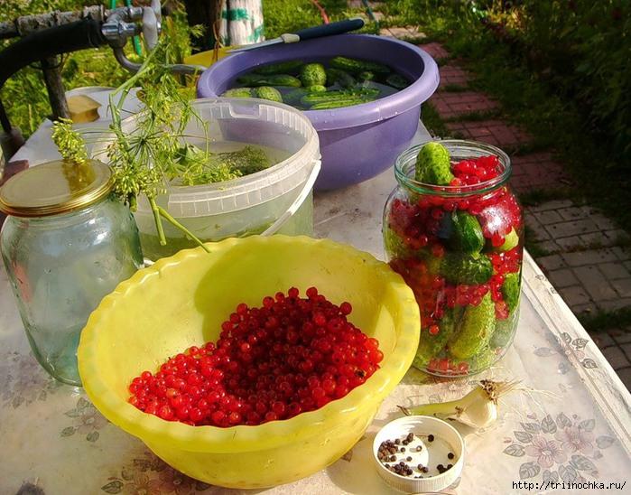 Засолка огурцов с красной смородиной вместо уксуса
