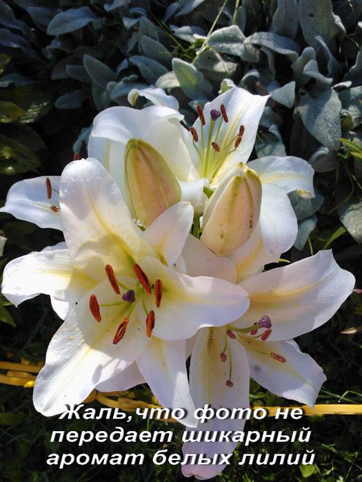 Белые лилии (525x700, 527Kb)