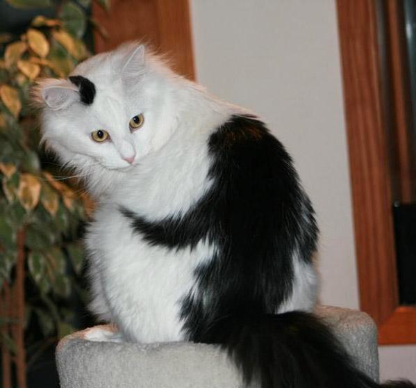 Кошки с забавной раскраской2а (599x558, 153Kb)