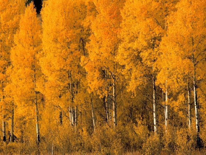 aspen_trees_montana___id_31138-2048x1536 (700x525, 253Kb)