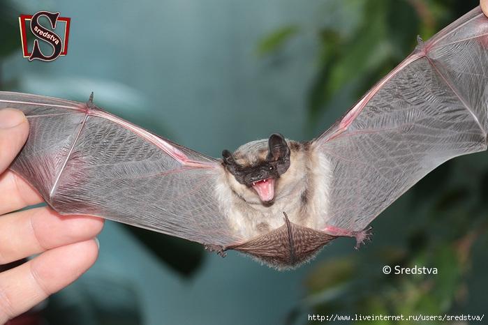 крыло летучей мыши, летучая мышка на балконе, летучая мышь в москве, летучая мышь спреди, летучая мышь сзади, летучая мышь зубы, как шипит летучая мышь, где живут летучие мыши/3041158_1 (700x466, 219Kb)