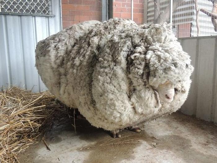овца рекордсмен 3 (700x525, 352Kb)