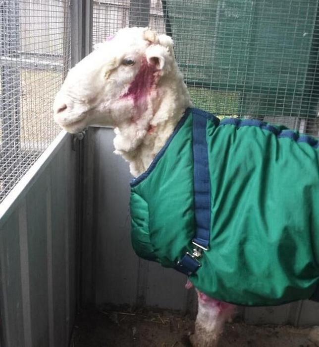 овца рекордсмен 9 (644x700, 339Kb)