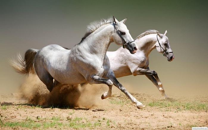 арабская лошадь3 (700x436, 104Kb)