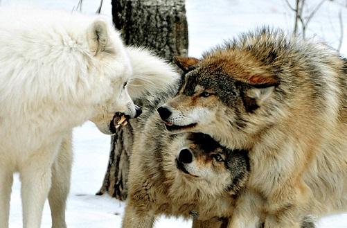 _волки (501x329, 90Kb)