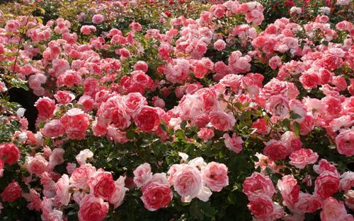розы (500x313, 51Kb)