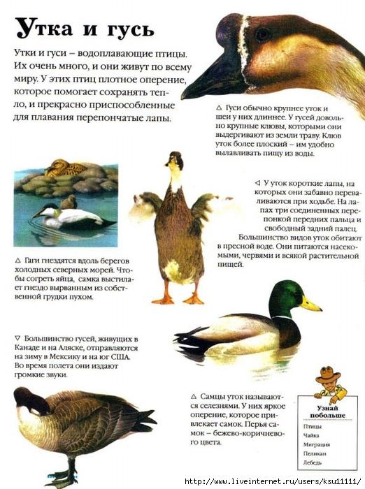 Сравнительное гдз описание утки 4 класс гуся и