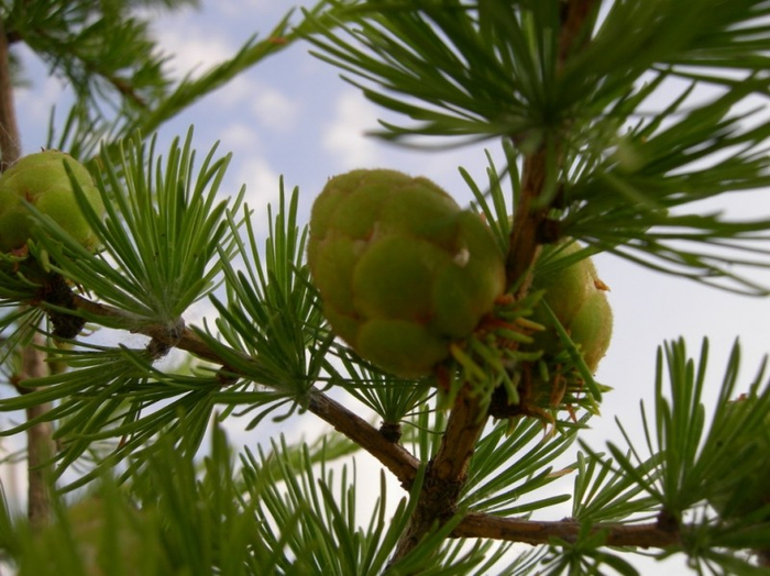 цветет лиственница сибирская 17 (700x524, 381Kb)