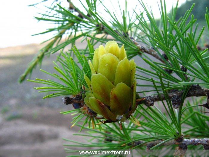 цветет лиственница сибирская 9 (700x525, 352Kb)