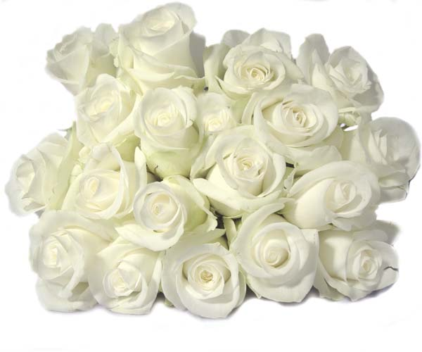 white rose 2 (600x500, 39Kb)