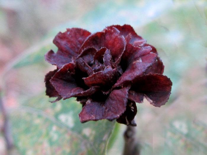07 Роза (700x525, 87Kb)
