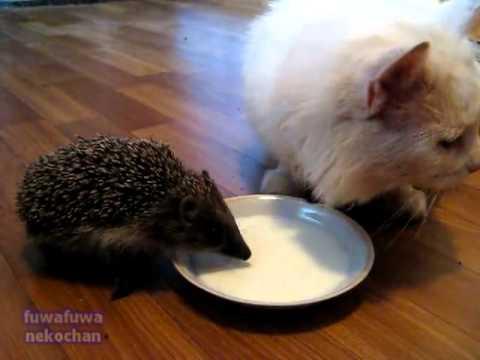 кот и еж пьют молоко вместе/3518263_esh (480x360, 12Kb)
