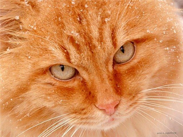 что если рыжий кот начнет