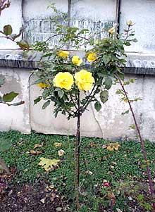 rose2 (220x301, 21Kb)