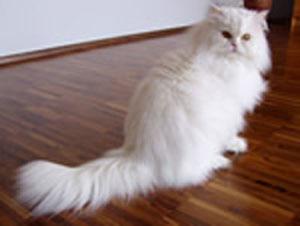 Кошка персидская (300x226, 25Kb)