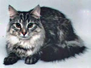 Кошка норвежская (300x224, 19Kb)
