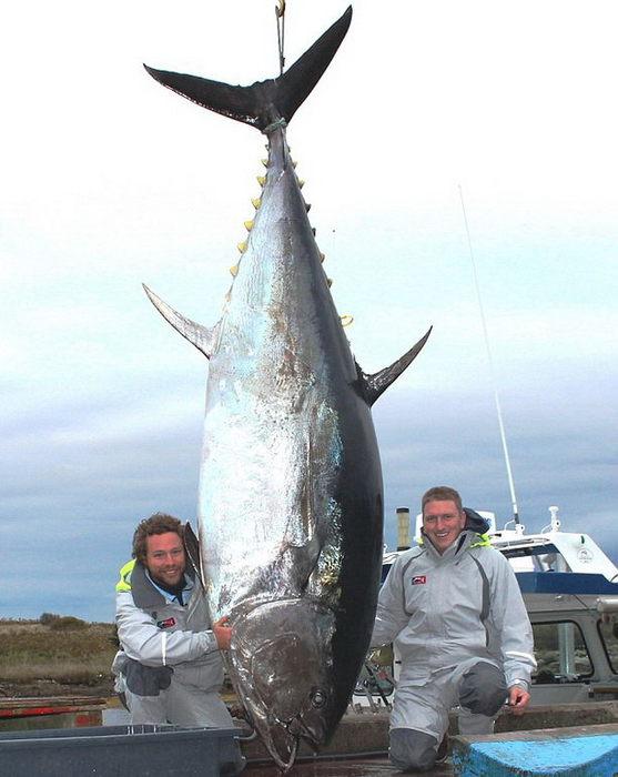 4208855_fish (557x700, 60Kb)