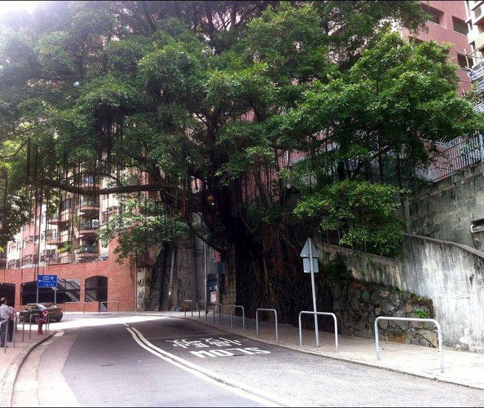деревья на стенах гонконга фото 4 (700x589, 137Kb)