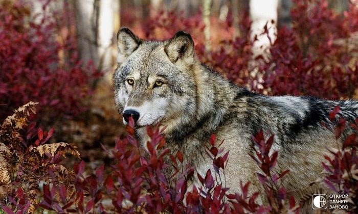волк (700x420, 101Kb)