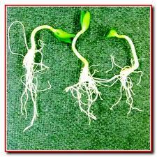 Большинство огородников высевают огурцы сразу в тепличные грядки сухими либо намоченными семенами, а некоторые...