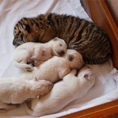 Овчарка усыновила брошенных тигрят (234x234, 16Kb)