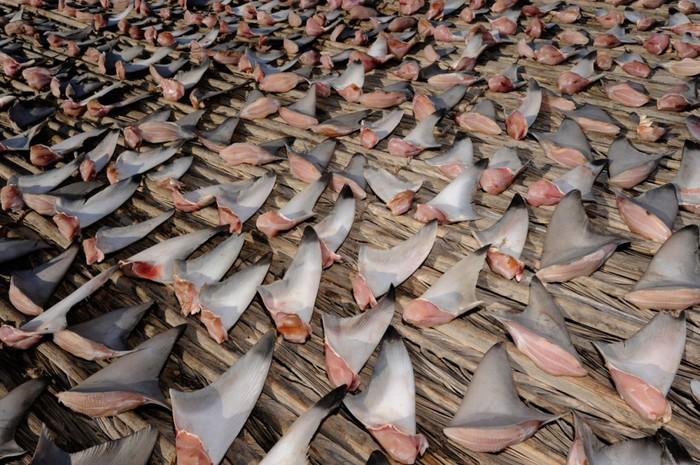 Акулий промысел фото 4 (700x465, 130Kb)
