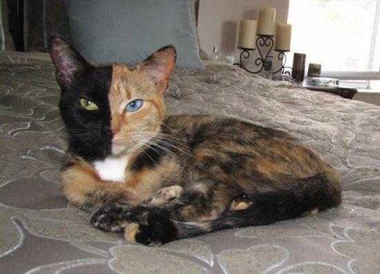 двуликая кошка венера (550x396, 49Kb)
