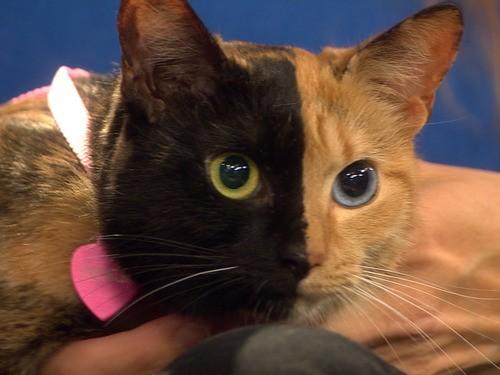 двуликая кошка венера 2 (500x375, 44Kb)