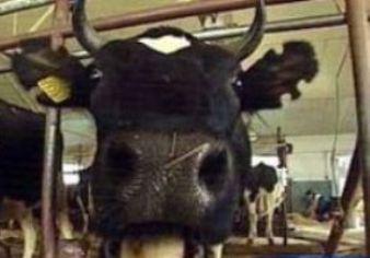 Корова 4 (338x236, 14Kb)