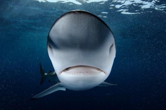4208855_shark550x365 (550x365, 42Kb)