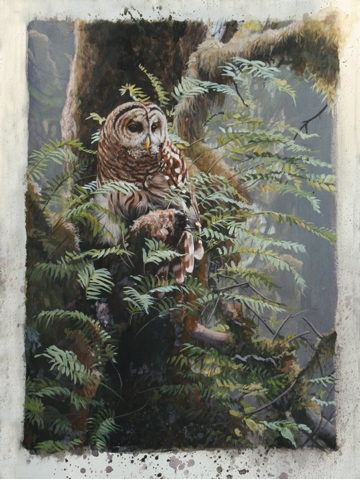 Barred Owl 2 Blog  (526x700, 303Kb)