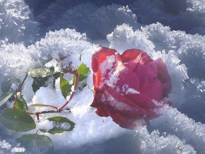 роза.снег (700x525, 89Kb)