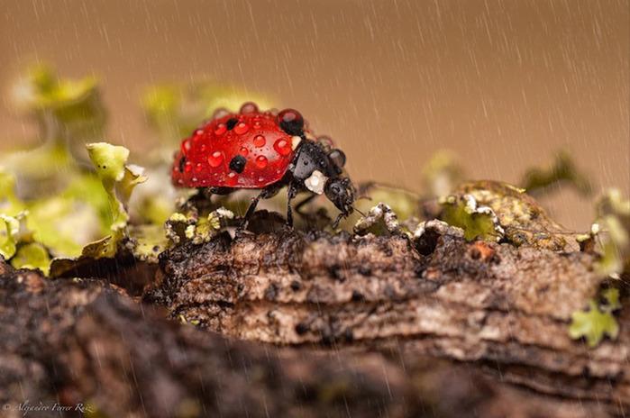 Ladybugs-4 (700x464, 106Kb)