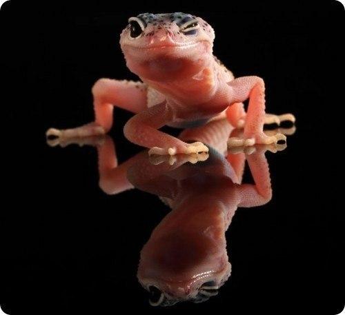 танцующий гекон фото (500x457, 23Kb)