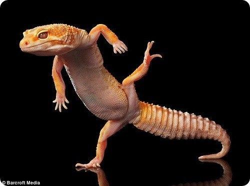 танцующий гекон фото 4 (500x371, 27Kb)