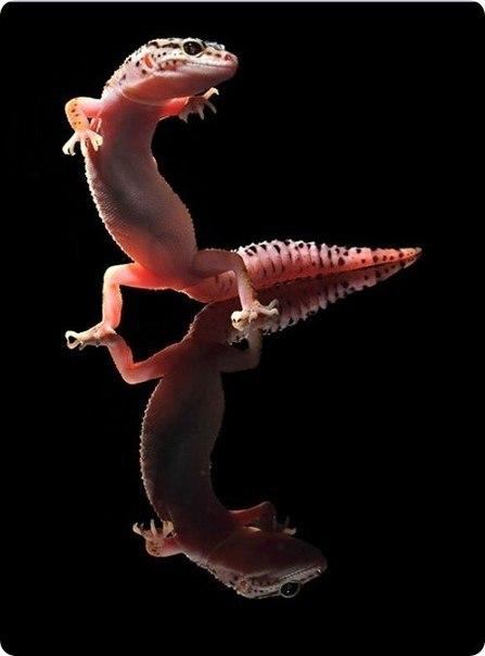 танцующий гекон фото 6 (447x604, 23Kb)