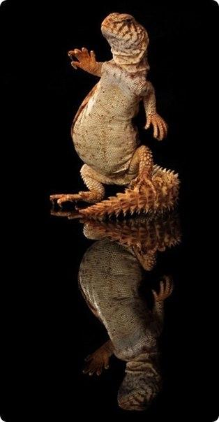 танцующий гекон фото 8 (314x604, 25Kb)