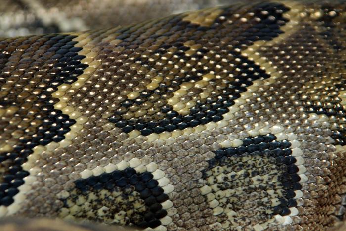 Reptile skin textures (34) (700x467, 496Kb)