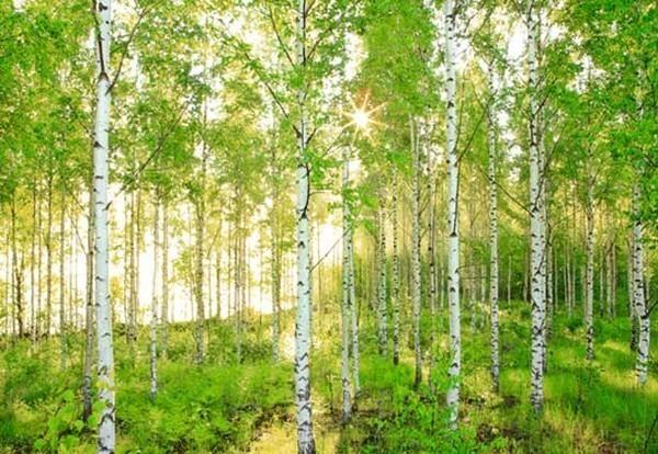 birch-tree-mural (600x414, 112Kb)