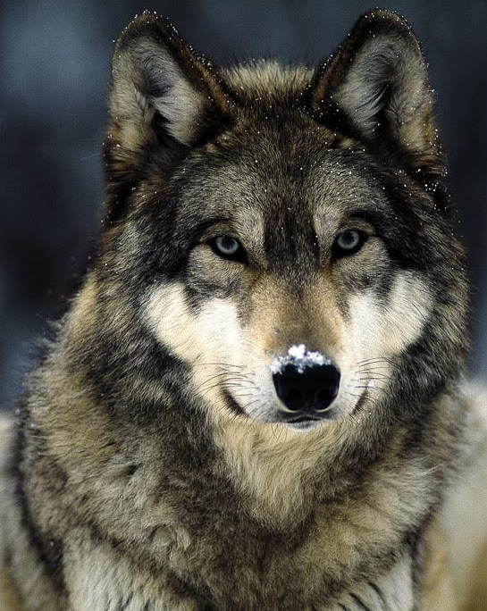 Волчий хвост
