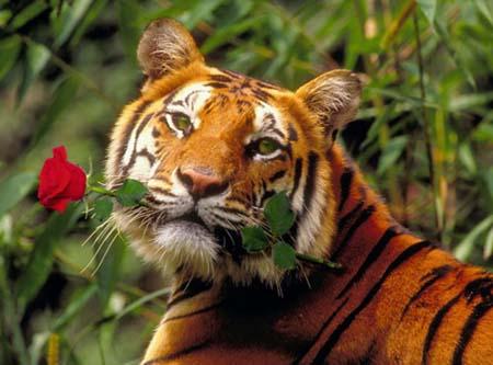 Тигр с розой (450x333, 36Kb)