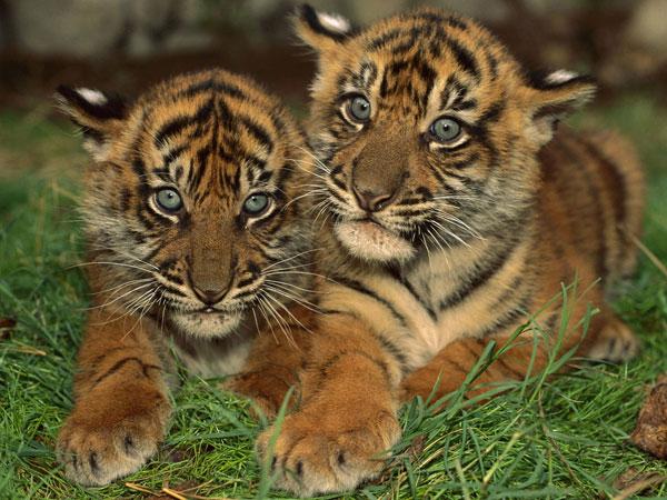Забавные тигрята