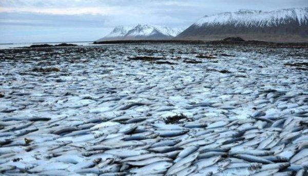 Исландия - массовая гибель рыбы 1 (600x344, 60Kb)