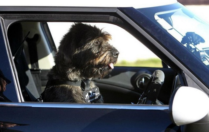 3925073_drivingdogs2 (700x442, 97Kb)