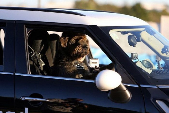 3925073_drivingdogs5 (700x468, 102Kb)