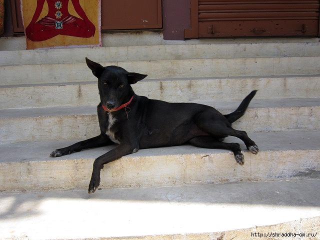собака в Тируваннамалае (640x480, 200Kb)
