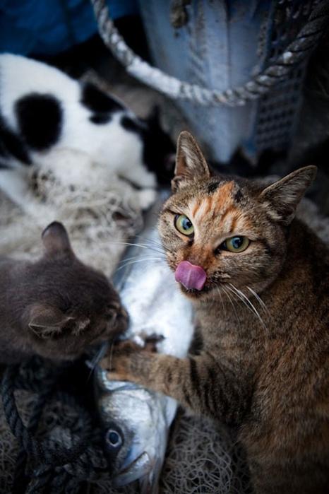 смешные кошки фото 23 (466x700, 206Kb)