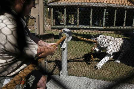 играющие тигры фото 1 (450x300, 31Kb)